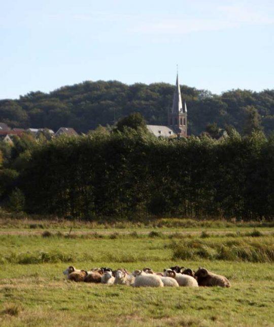 Schafherde auf Feuchtwiese