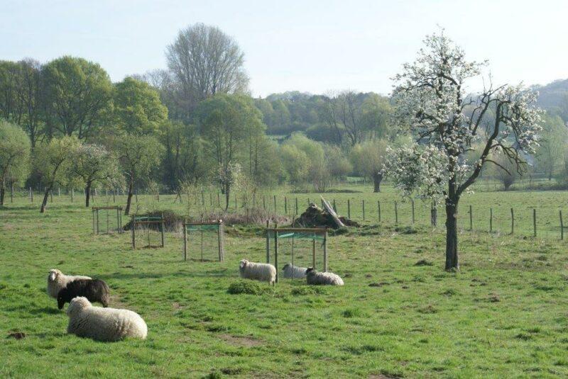 Schafe liegend