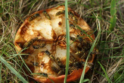 Keine Furcht vor Wespen
